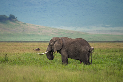 Majestic  Bull Elephant