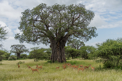 Gazelles under Baobob Tree