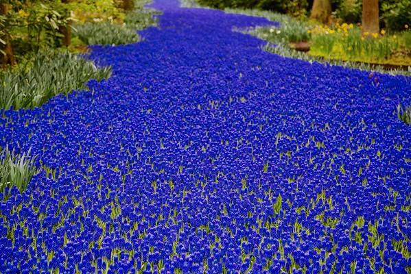 River of Bluebells