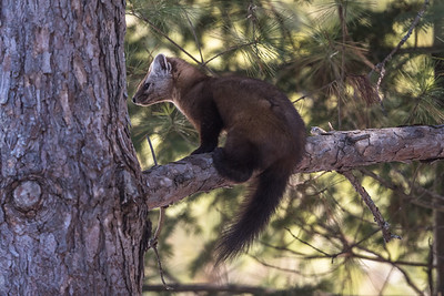 Marten in pine tree