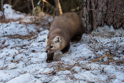 Marten on the prowl