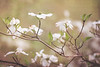 May 10 - Dogwoods of Spring #1<br /> <br /> My favorite spring tree!