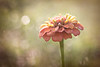 July 2 - Salmon Colored Zinnia<br /> <br /> Such a pretty color!