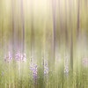 Feb 20  - Lupines On The Edge Of The Forest<br /> <br /> A soft and dreamy/surreal image.