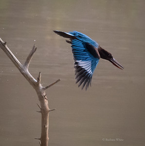 White Throated Kingfisher Diving