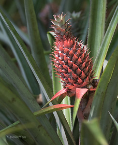 A Red Pineapple