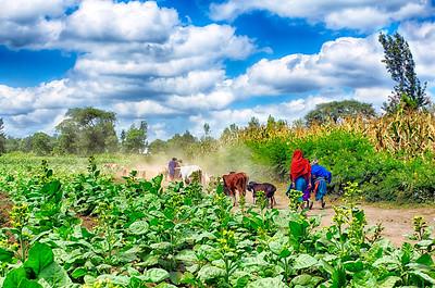 Maasai Cowherds