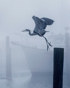Heron Take Off in Fog