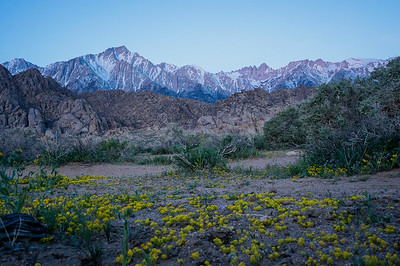 Flowers at Alabama Hills