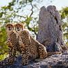 Cheetah Brothers - Botswana