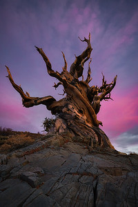 Twilight and a very old tree