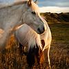 Equus - Iceland