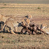 Cheetah with Wildebeest - 20191001 - Kenya  - 8507764