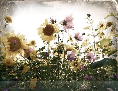 IMG_0684 sunflower cosmo daguerro plumbe