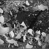 Gingko bw Maidenhair Butterflies IMG_8840