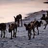 The Evening Hunt - Botswana
