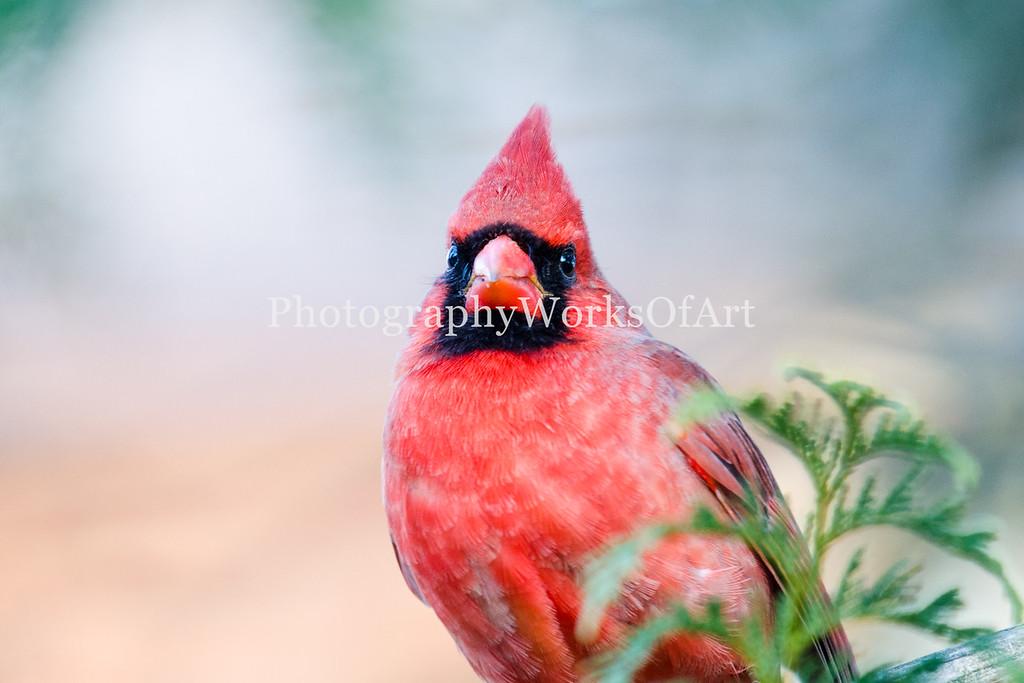 Male Cardinal Watching