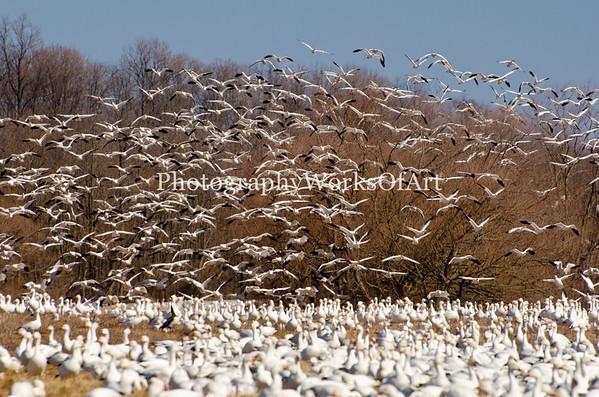 Snow Geese Blast-off