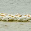 White Pelican Lineup
