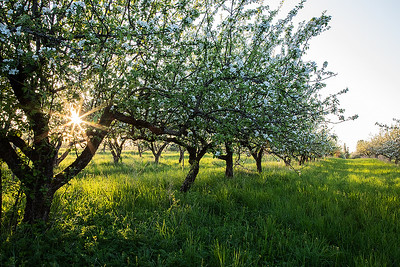 Apple tree garden
