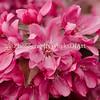 Crabapple Flower Cluster