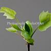 Tulip Poplar Bud and Leaves