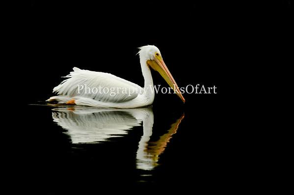 White Pelican on Black