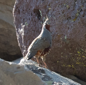 Mountain Quail Mammoth Lakes 2017 09 02-1.CR2