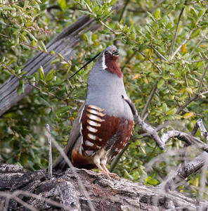Mountain Quail Mt. Palomar 2015 03 15-5.CR2
