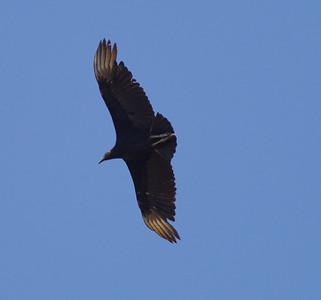Black Vulture  San Blas Nayarit Mexico  2013 03 11 (1 of 1).CR2