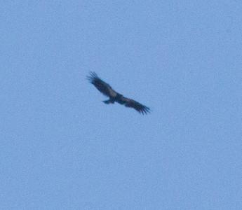 Californi Condor Pinnacles National Monument California 2011 09 25-2.CR2