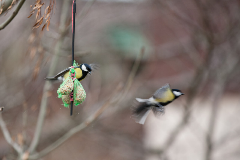 Get outta here you Great Tit!