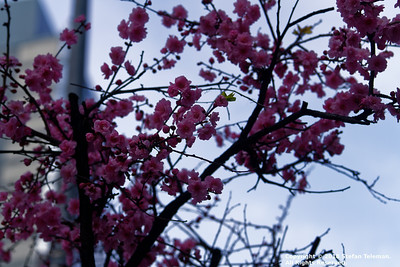 New York City - Blooming Tree - April 7 2018