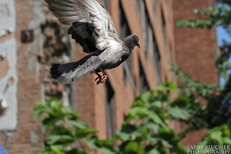 NYC sky-rat.