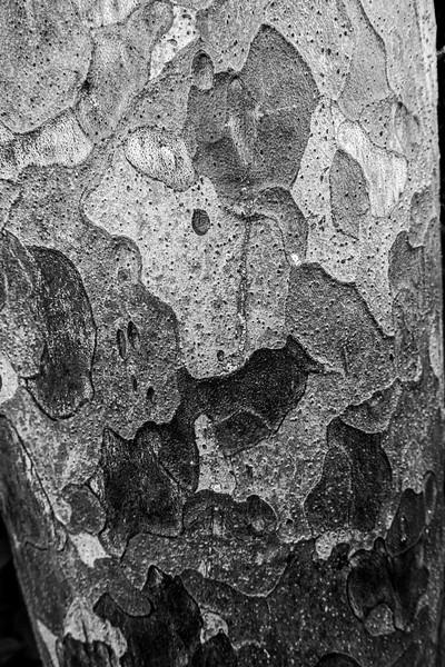 Lace Bark Pine