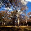 American Elms, Central park