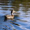 Mallard, Turtle Pond, Central Park