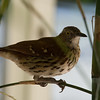 Brown Thrasher in IBM Atrium