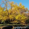 Isham St Tree Fall 2013
