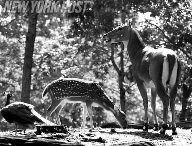 Spotted Deer At Bronx Zoo. 1981