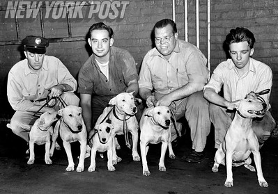 Bronx ASPCA Shelter workers with dogs that attacked a police officer. 1947