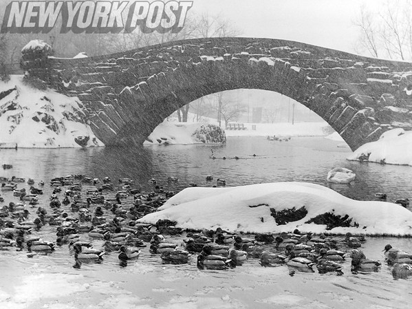 Winter Scenes in NYC Central Park. These ducks enjoy their pond on this icy snowy day. 1964