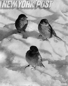 Sparrows Search for a Winter Snack in Central Park. 1963