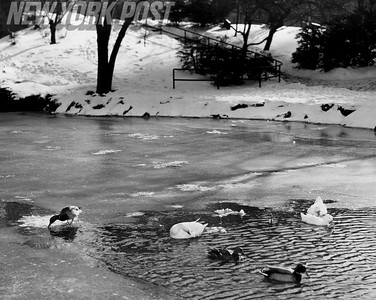Ducks Frolicking In Lake Stream At NYC Central Park. 1955