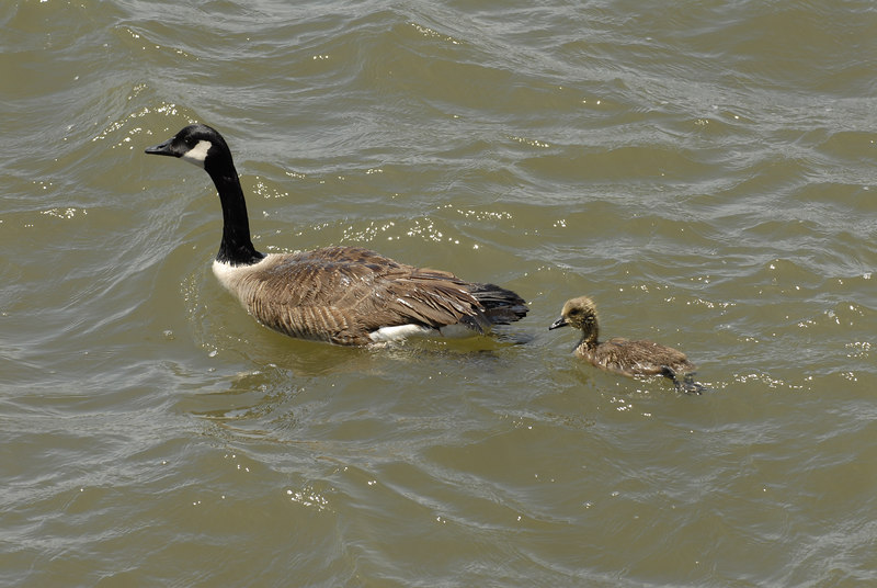 Goose with Gosling in Hudson