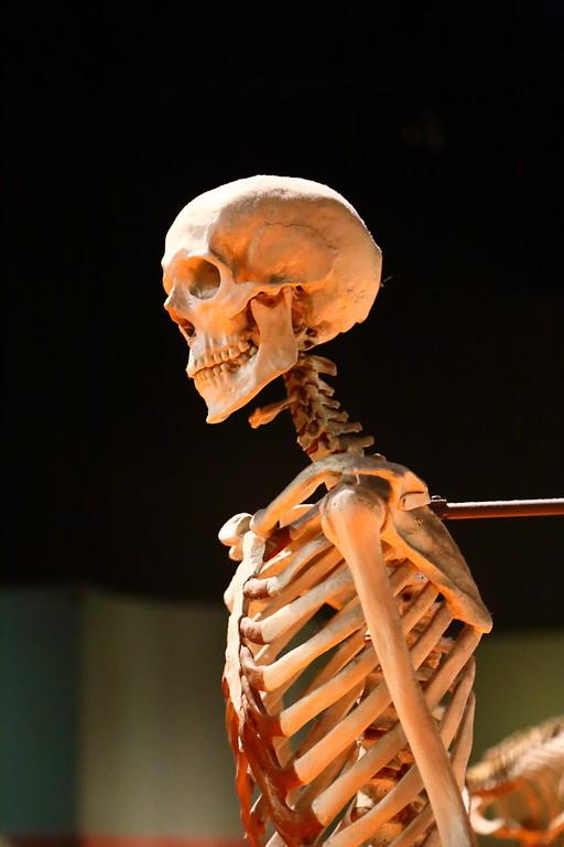 Skeleton at Natural History Museum