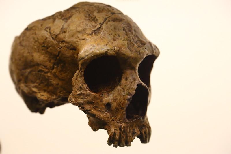 Skull at Natural History Museum