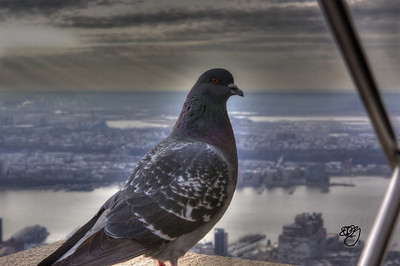 New York City Pigeon