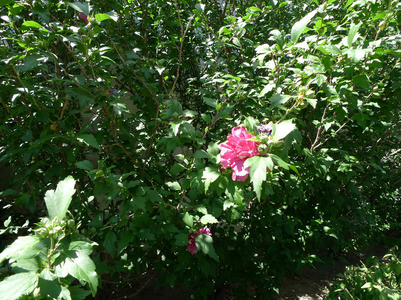A lone double Rose of Sharon in the neighborhood.