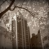 White Blossoms - Springtime in New York - New York City Street Scene